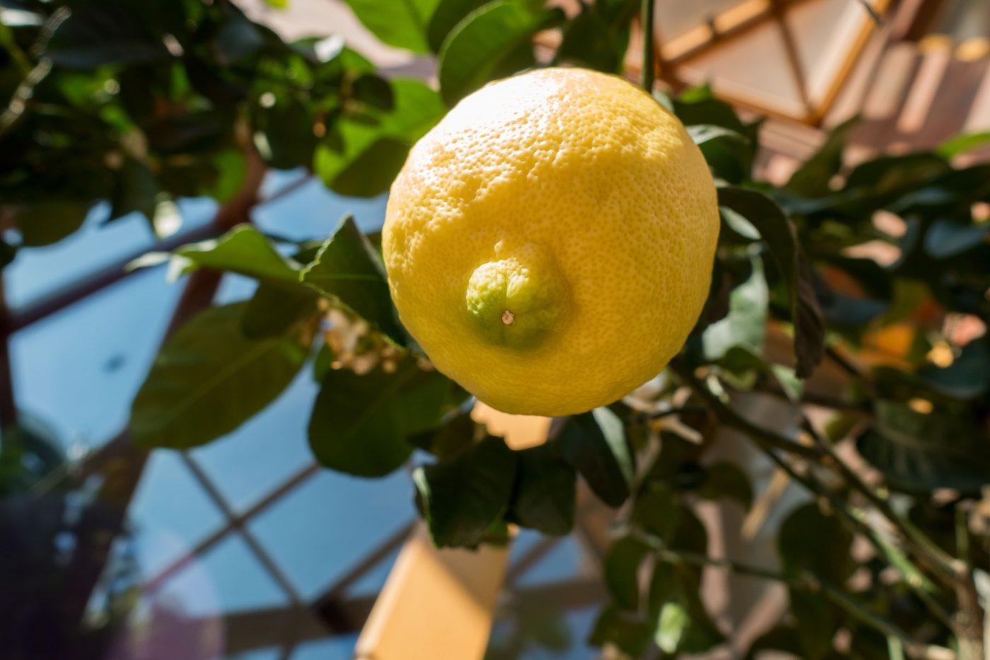 Zitrone am Baum im Wintergarten