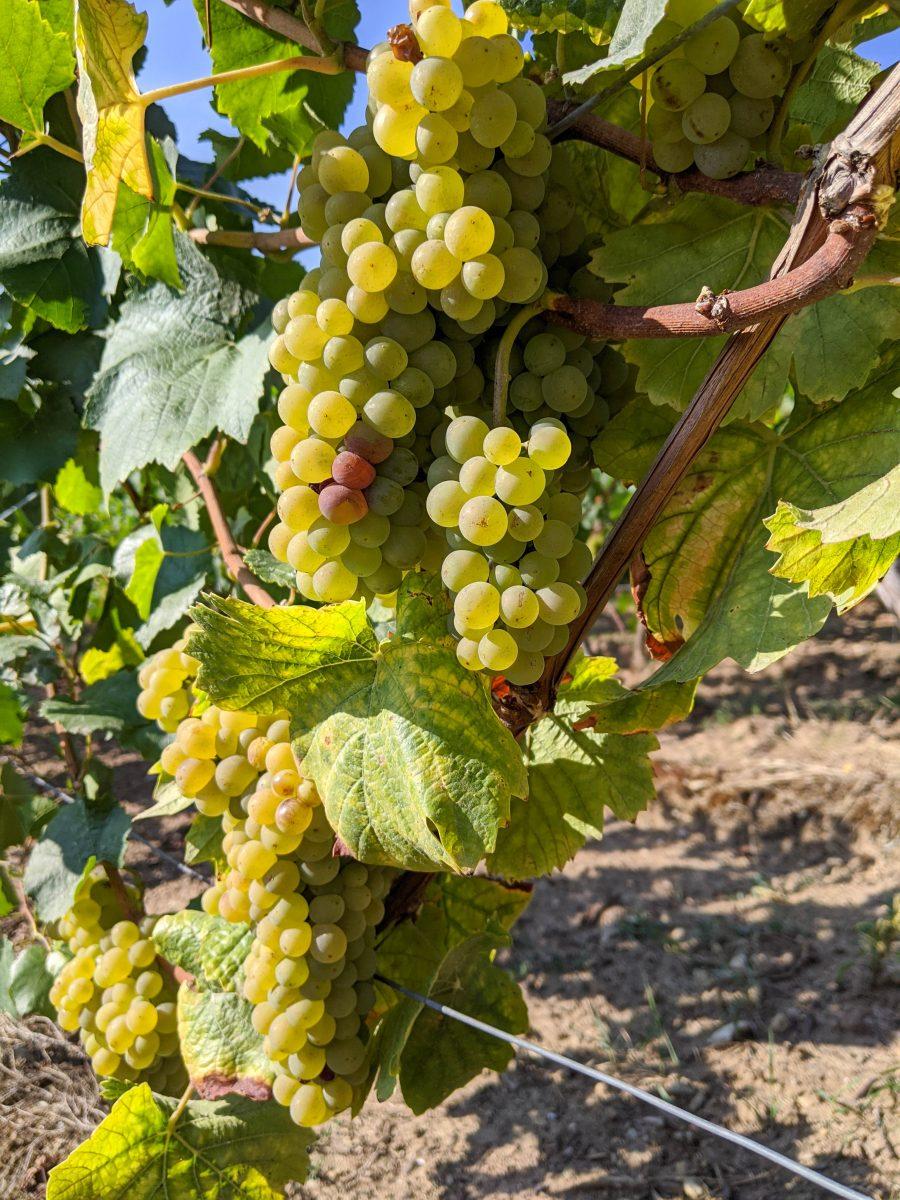Gelbe Weintrauben am Rebstock